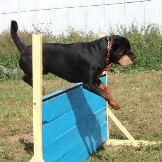 Собака прыгает через барьер
