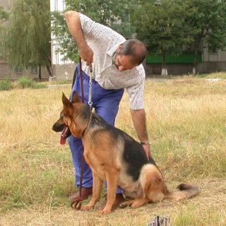 Выработка навыка посадки собаки