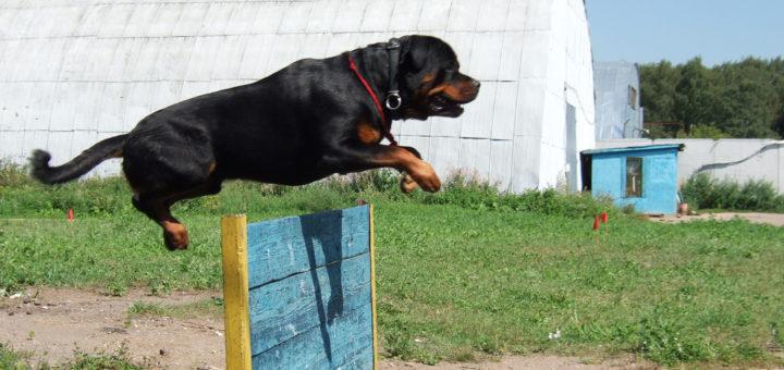 подача команд: собака прыгает через барьер