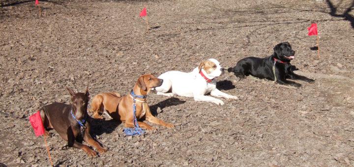 выдержка собаки в положении лежа