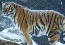 Тигры украли пограничных собак