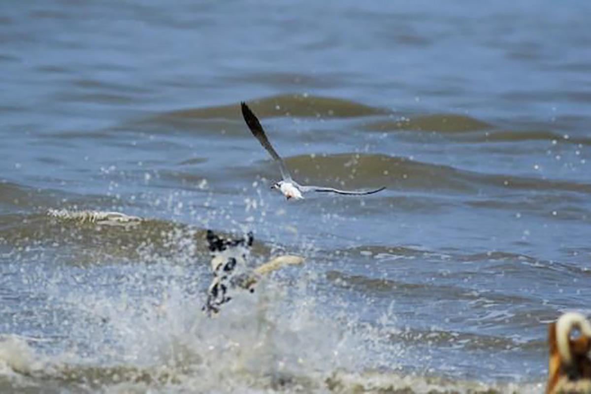 Одичавшие собаки охотятся даже в воде