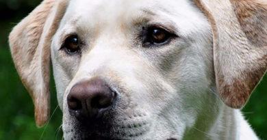 В Крым отправилась первая собака-поводырь