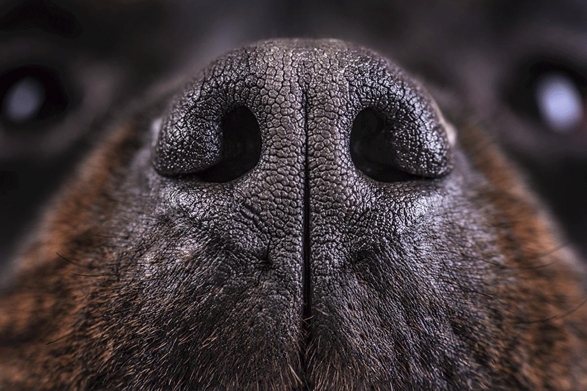 собачий нос