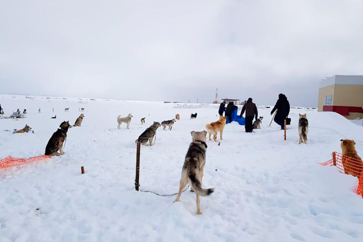 голодные собаки Берингии: сообщение проверено