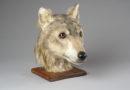 Восстановлен облик древней собаки