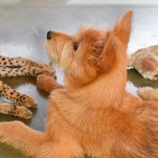собака и гепард