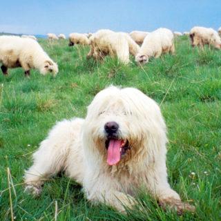 животные считают: собака и овцы