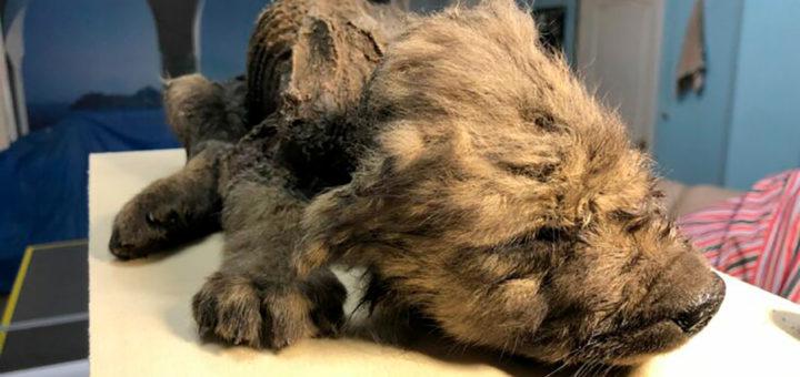 древние собаки: находка в Сибири