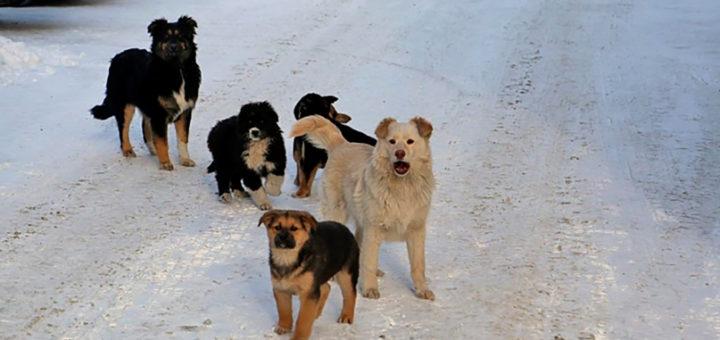 Якутск, собаки