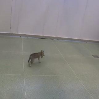 волчонок с мячиком