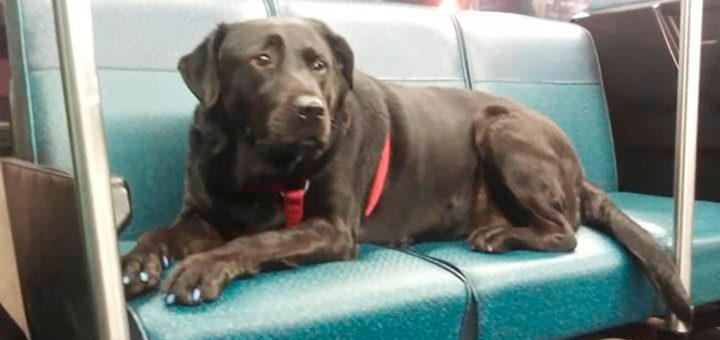 собака без хозяина в автобусе