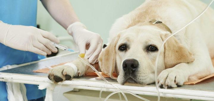 стерилизация собак: риск оценили