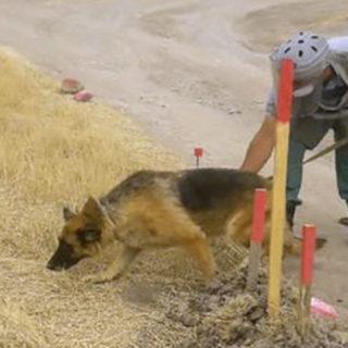 КОра - лучшая собака сапер