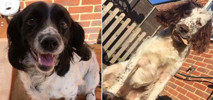 Великобритания: украденные собаки