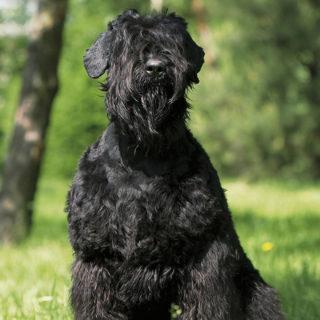 Черный терьер. Лучшие сторожевые собаки