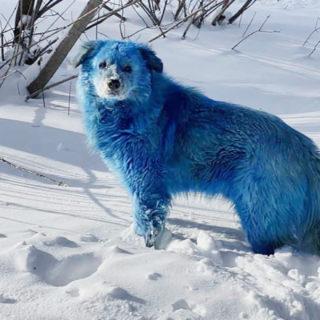 Собаки, окрашенные в голубой цвет