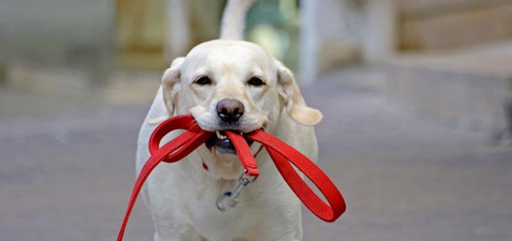 Собака с поводком в зубах