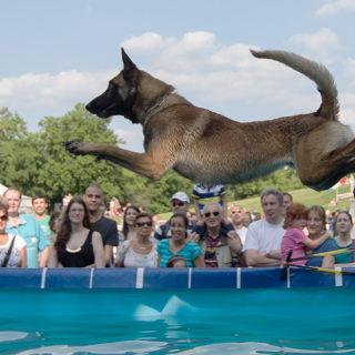 фото собак: прыжки в воду