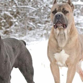 собаки породы кане корсо