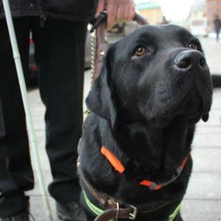 Лучшие собаки: лабрадор Акс