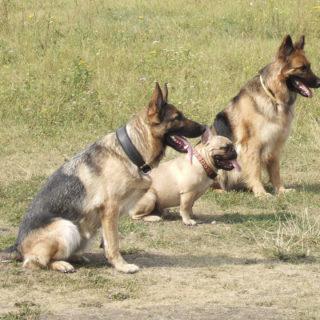 Понимающая собака сконцентрирована на человеке