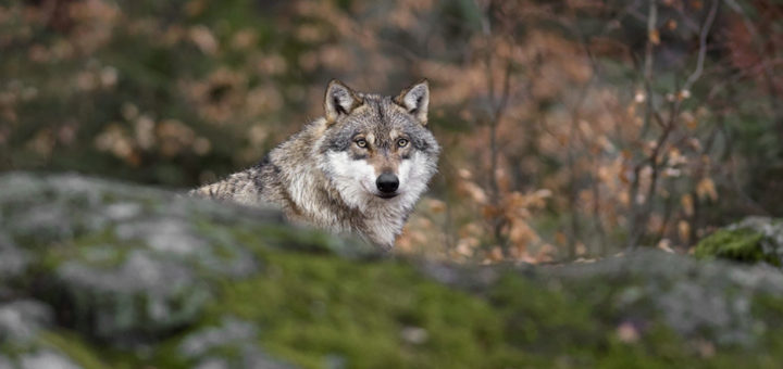 Волки нападают чаще