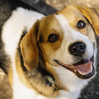 Бигль - самая здоровая собака