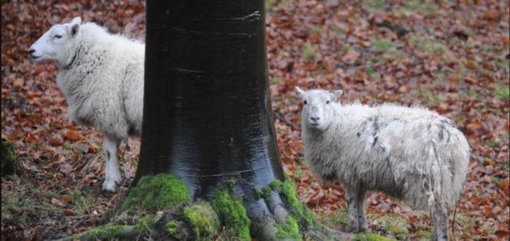 чисто английское убийство овец