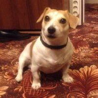 Пропала собака Джек Рассел терьер!!!кобель!!!