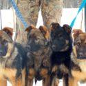 Продаются щенки немецкой овчарки рабочего разведения