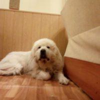 Пропала пиринейская горная собака